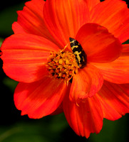 Cosmic Orange Cosmos flower with HYmB Beetle